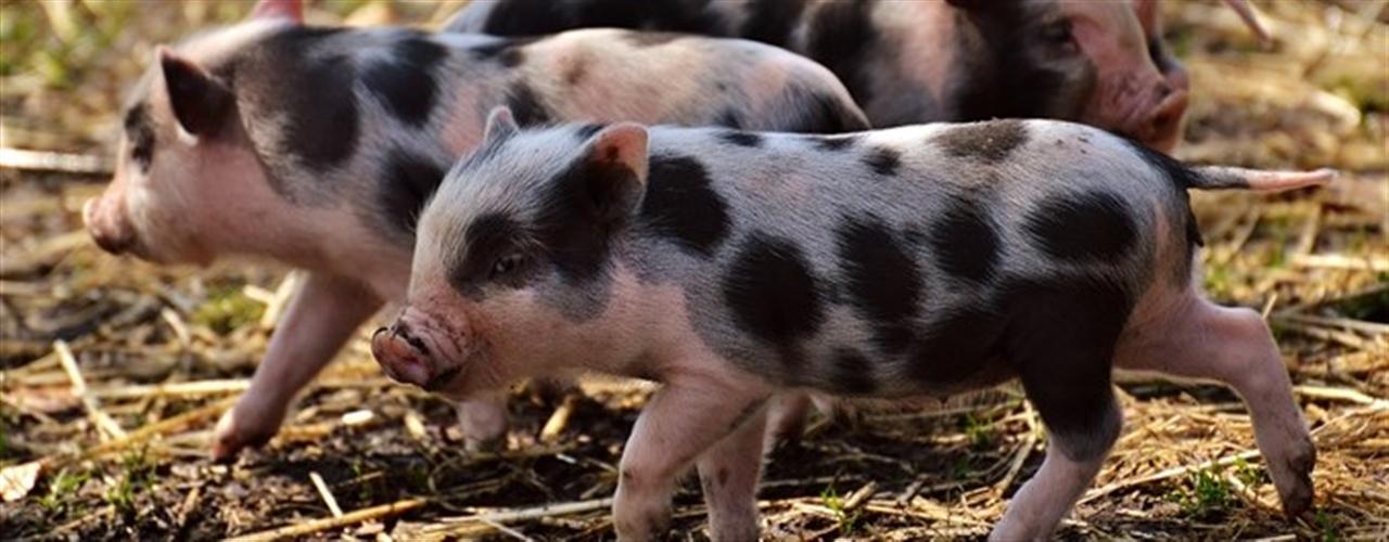 Produção sustentável de suínos